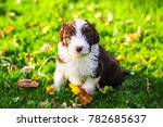 Stock photo a bearded collie puppy running around in the grass 782685637