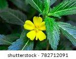Small photo of beautiful damiana flower