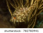 Small photo of Bristle-tail filefish (Acreichthys tomentosus).