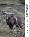 Small photo of Closeup of a brown ram in a forest in Germany