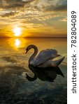White Swan Sunset Water