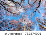 wild himalayan cherry with blue ... | Shutterstock . vector #782874001