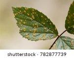 leaves of a blackberry bush... | Shutterstock . vector #782877739