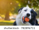 Stock photo border collie dog play a ball in the park concept of happy enjoy playful and friendly 782896711