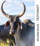 Zebu Cow With Big Horn