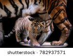 small tiger cub walking under... | Shutterstock . vector #782937571