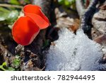 Small photo of Aleuria aurantia fungus in forest