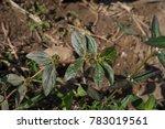 euphorbia hirta  garden spurge  ...   Shutterstock . vector #783019561