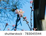 beautiful cherry blossoms in... | Shutterstock . vector #783045544