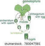 scheme of fern sexual...   Shutterstock .eps vector #783047581