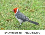 The Red Crested Cardinal