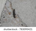 Small photo of Harpaphe haydeniana millipede crawling floor. It also known as many names yellow-spotted, almond-scented and cyanide millipede. It have many legs