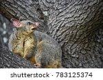 the common brushtail possum is... | Shutterstock . vector #783125374