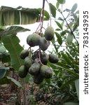 Small photo of Spondias dulcis fruit on the tree , Ambarella
