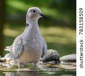 collared dove   streptopelia... | Shutterstock . vector #783158509