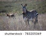 mountain zebra  equus zebra... | Shutterstock . vector #783205369