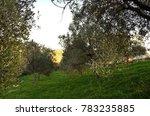Small photo of Sunny italian olive grope