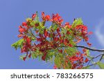 Flame Tree   Blossoms Of...