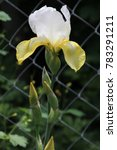 Small photo of variety of irises white tops of perianth and apricot-yellow