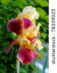 Sunny Yellow Red Iris In Garden