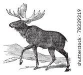 Moose Or Eurasian Elk Or Alces...