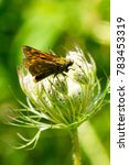 Small photo of Skipper butterfly (Hesperiidae) sitting on white flowers from above
