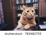 domestic ginger cat at home | Shutterstock . vector #783482755