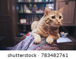 domestic ginger cat at home | Shutterstock . vector #783482761