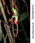 Small photo of A Morelet's treefrog (Agalychnis moreletii) climbs through the branches at night in southern Belize.