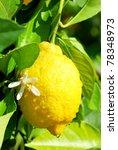 Yellow lemon and flower hanging on tree. - stock photo