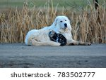 a sheepdog taking a break with... | Shutterstock . vector #783502777