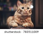 domestic ginger cat at home | Shutterstock . vector #783511009