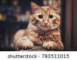 domestic ginger cat at home | Shutterstock . vector #783511015