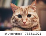domestic ginger cat at home | Shutterstock . vector #783511021