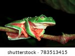 Small photo of A Morelet's treefrog (Agalychnis moreletii) sleeps on a branch at night in the Columbia River Forest Basin, Belize. The web-like eyelid (reticulated palpebral membrane) is easily visible.