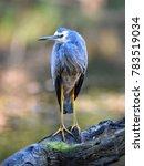 white faced heron  royal... | Shutterstock . vector #783519034