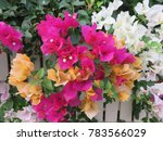 Bougainvillea Is A Genus Of...
