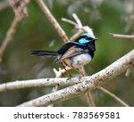 fairy wren at sydney  australia   Shutterstock . vector #783569581