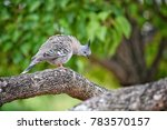 crested pigeon at sydney ... | Shutterstock . vector #783570157