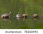 Four Box Turtles Sunning On A...