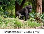 the gorilla is walking through...   Shutterstock . vector #783611749