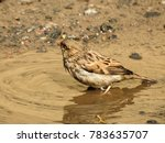 the house sparrow is a bird of... | Shutterstock . vector #783635707