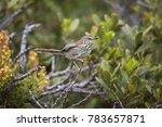 karoo or spotted prinia  prinia ... | Shutterstock . vector #783657871