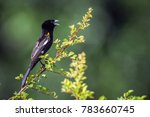 white winged widowbird in... | Shutterstock . vector #783660745