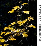 Small photo of Bright golden yellow autumn leaves of Field Maple (Acer campestre) hedgerow tree highlighted in bright sunlight against a dark background