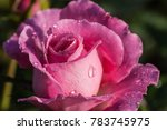 Small photo of Flower garden after rain.All wet with a drop of water.Llke pink roses in the garden.