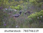 Small photo of southern black korhaan or black bustard, Afrotis afra walking through the fynbos