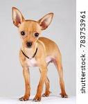 Little Chihuahua Dog  Studio ...