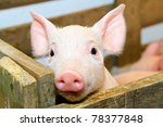 small and funny pink piglet in... | Shutterstock . vector #78377848