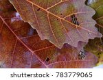 autumn oak leaves  | Shutterstock . vector #783779065